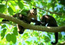 Macacos - Jornal bom dia